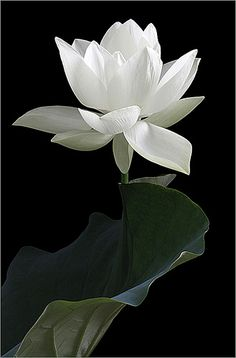 the white flower unblushingly presents itself, shining out from the dark, resting atop it's lovely curved leaf.    www.theinsightfulweb.com