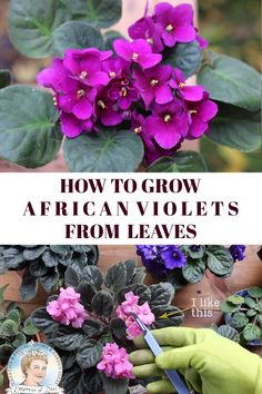 How to Grow African Violet Leaf Cuttings Quick and easy tutorial to grow more African violets from the ones you have by propagating leaves africanviolets propagation houseplants empressofdirt You are in the Shade Garden, Garden Plants, Indoor Plants, Balcony Garden, Marigolds In Garden, Water Garden, Vegetable Garden, Gardening For Beginners, Gardening Tips