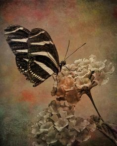 Romantic Butterfly - Photography by Janice Austin