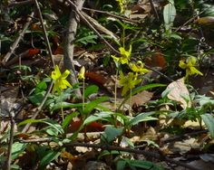 Blooming now in the Indiana woodlands. Spring Wildflowers, Wild Flowers, Indiana, Bloom, Plants, Wildflowers, Plant, Planets