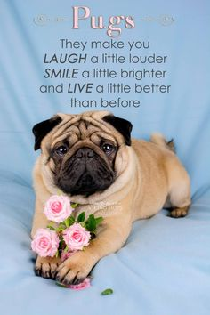 Explore our site for more relevant information on pugs. It is actually an outstanding spot to learn more. Cute Pug Puppies, Black Pug Puppies, Cute Pugs, Funny Pugs, Doggies, Terrier Puppies, Bull Terriers, Bulldog Puppies, Boston Terrier