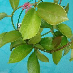 Hoya bicknellii $$$ IML 1597 Hoya bicknellii - $16.00 : Hoya Plants and Cuttings