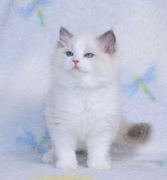 Ragdoll Kittens for Sale, | Catlana Ragdolls Ragdoll Kittens For Sale, Kitten For Sale, Cats And Kittens, Pet Dogs, Dog Cat, Beautiful Kittens, Newborn Kittens, Cute Cats, Kitty