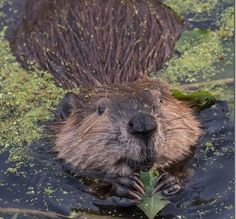 Beaver Mania!  Film screening, music, talks  (FREE)