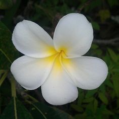 White Plumeria with cream-colored heart-center: Common name - Frangipani - Flower Pic from New Caledonia