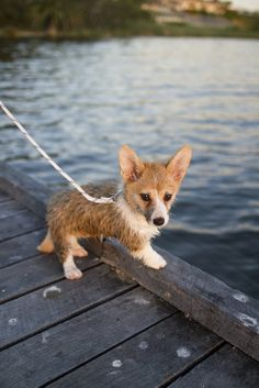 Wet corgi puppy- oh.my.gosh.... just about died... soooo cute!