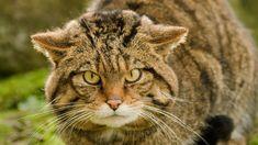 🔥 El gato montés es un complejo de especies que comprende dos especies de gatos salvajes pequeños, el gato montés europeo y el gato montés africano... Cats, Animals, Google Search, Feral Cats, Breeds Of Cats, Oil Field, Leopard Cat, Domestic Cat, Gatos