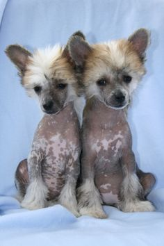 chinese crested puppies (waaahhhh)
