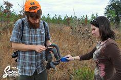 Lisa Parker of Sunshine Serpents scans a Eastern Indigo snake for a pit tag.