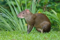 The agouti (ah GOO tee) is a rodent from Central and South America rain forests that looks a bit like a really large guinea pig. Its coarse hair is covered with an oily substance that acts like a raincoat. The hair is longest on its rump. The agouti has five toes on its front feet and three on the hind feet. It walks on its toes, not flat-footed like many rodents, giving the agouti a dainty look.