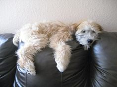 Ali the Soft Coated Wheaten Terrier lounging on the couch.