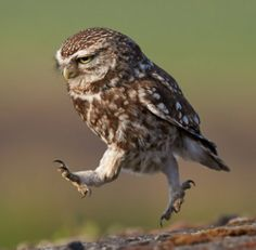 Hopping hoot...