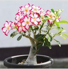 Aliexpress.comの日用雑貨・園芸 から 盆栽の中の発芽率の95%、 屋内鉢植え、 砂漠のバラ盆栽種子、 きれいな空気吸引ホルムアルデヒド、 5個