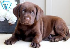 This attractive Chocolate Lab puppy is searching for her fur-ever family! She is super sweet and she is a very social puppy who promises to be your most Cute Puppies Images, Cute Baby Puppies, Cute Animals Images, Puppy Images, Tiny Puppies, Lab Puppies, Cute Dogs, Funny Animals, Cutest Animals