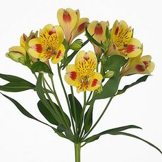 Alstroemeria Vanity is a lovely bi-colour yellow & red variety. (Please note, alstroemeria flowers take a few days to open). One of many bi-coloured varieties of this beautiful long lasting flower which is available. Suitable for wedding bouquets etc. August Flowers, May Flowers, Amazing Flowers, Fresh Flowers, Yellow Flowers, Colour Yellow, Wedding Bouquets, Wedding Flowers, Peruvian Lilies