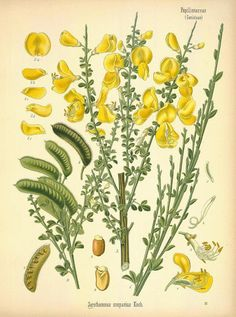 The name Plantagenet is a anglicized version of planta genesta, which is the Normal French term for the plant now called broom. Geoffrey of Anjou, husband of Empress Mathilda and father of Henry II, often wore a sprig of this plant in his hat or helmet, which is how the family got this name.