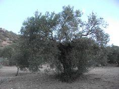 Adoptar olivos - Olive Tree Adoption