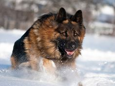 Grooming Your German Shepherd Doesn't Have To Be A Chore! Simplify The Grooming Process With These 5 Grooming Tips From The Professionals!
