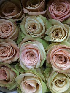 "Sandy Beige ""Sahara"" Roses"