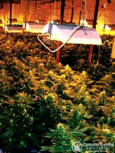 Indoor Cannabis Cultivation! Learn how to grow your own medical marijuana garden!   theCTU.com