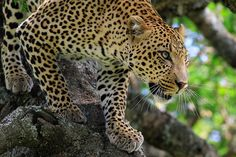 leopard (by Alastair S, via Flickr)