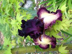 "Purple Bearded Iris.  Might be ""Epicenter"""