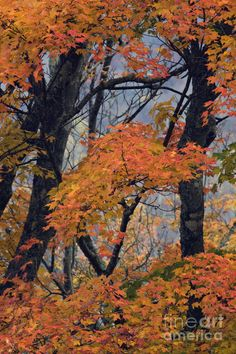 ✯ Autumn Color of Maple Leaves