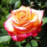Peace Rose by Pat Klum Fire And Ice Roses, Peace Rose, Planting Roses, Garden Roses, Seed Germination, Rose Images, Rose Pictures, Hybrid Tea Roses, Fiestas