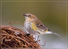 Yellow-rumped Warbler | yellow rumped warbler yellow rumped warbler