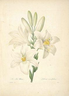 Madonna Lily. Lilium candidum. Choix des plus belles fleurs -et des plus beaux fruits par P.J. Redouté. (1833)