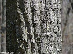 quercus prinus bark - Google Search