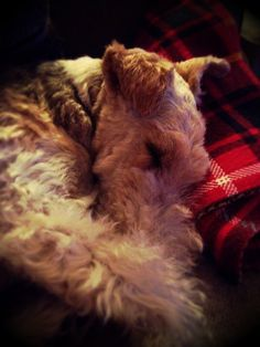 Wire-haired Fox Terrier -cosy in tartan.