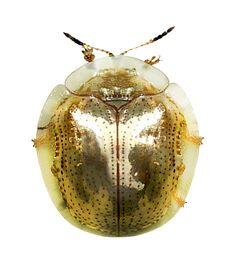 Charidotella sexpunctata golden form