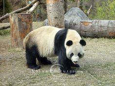 china-panda-bear-50622091709021.jpg (500×375)