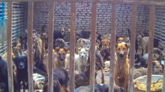 Have you signed the petition yet to Stop DOG MEAT?  www.stopdogmeat.com #stopdogmeat #dogs #animalrights #doglovers #animals #passiton #pleaseshare #animalcharity #animals #charity #nonprofit #doglover
