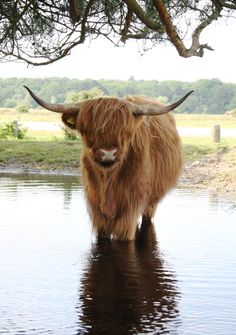 Highland Cow out standing in his stream. Scottish Highland Cow, Highland Cattle, Farm Animals, Animals And Pets, Cute Animals, Cow Pictures, Animal Pictures, Beautiful Creatures, Animals Beautiful