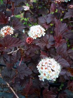 Physocarpus opulifolius 'DIABOLO®' - Havlis.cz Garden Shrubs, Flowering Shrubs, Landscaping Plants, Trees And Shrubs, Shade Garden, Garden Plants, Natural Landscaping, Outdoor Landscaping, Landscaping Ideas