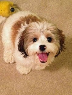 Cavachon- I am getting one of these dogs!! Got to have one