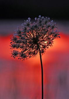 """A """"Queen Anne's Lace"""" with the sunset directly behind it. The reason I could still get some tone on the flower (OK, weed) is the sun is defused because this is the reflection of the sunset in a pond. Really Cool Photos, Language Of Flowers, Queen Annes Lace, Belleza Natural, Color Photography, Beautiful World, Mother Nature, Color Splash, Outdoor Gardens"""