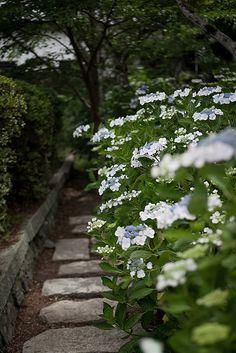 Hydrangea, boxwood, stone path and stone wall. Structure vs loose elements. Hydrangea Garden, Yokokuji Temple of kyoto, Japan