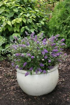 Lo and Behold 'Blue Chip' buddleia is just what you need if you want the butterflies to visit you. Put this pot on your patio, sit back and enjoy the show! Garden Shrubs, Flowering Shrubs, Sun Garden, Patio Plants, Dwarf Butterfly Bush, Container Gardening Vegetables, Large Plants, Flowers Perennials, Cool Landscapes
