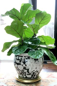 Detailed instructions on how to care for my beloved fiddle leaf fig tree.