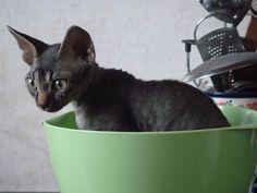 Gatos Devon Rex Devon Rex, Cornish Rex Cat, Sphynx, Kitty, Animals, Gatos, Little Kitty, Animales, Sphynx Cat