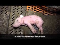 If You're Still Eating Bacon, You Need to See This Video | PETA