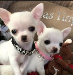 Mommy chihuahua and her baby