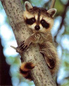 Aww look at the little baby racoon so cute! If I ever get a raccoon, his name will be Sheldon//[ Or her name will be Penny(;