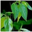 Peru Balsam essential oil, has a vanilla-like scent and is used for scenting creams and lotions