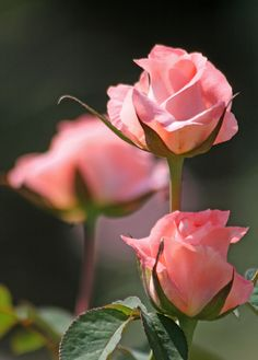 via imgfave for iPhone beautiful roses
