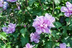 Zvlášť atraktivním dojmem působí plné květy nově vyšlechtěných kultivarů ibišku syrského. Pergola, Garden, Flowers, Plants, Garten, Outdoor Pergola, Lawn And Garden, Gardens, Plant