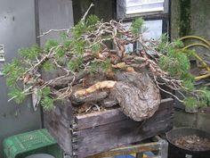 Yamadori ; collected wild bonsai material. Make sure to have permission of land owner!! Respect ppl's land & nature! Some trees due to location, age or species cannot & should not be collected. Be sensitive enough to realize such a tree is best left & enjoy it in its natural setting. (Better than taking it home anyway & dying)